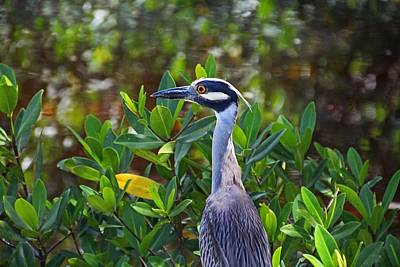 Photograph - Yellow-crowned Night Heron by Michiale Schneider