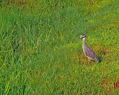 Photograph - Yellow Crowned Night Heron by Robert Brown