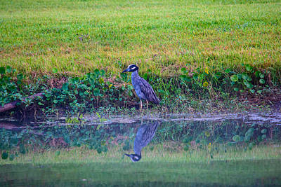 Photograph - Yellow-crowned Night-heron by Tikvah's Hope