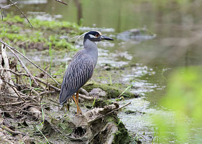 Photograph - Yellow-crowned Night Heron by Ron Grafe