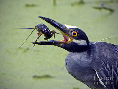 Art Print featuring the photograph Yellow Crowned Night Heron  by Savannah Gibbs
