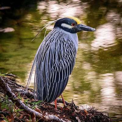 Photograph - Yellow-crowned Night-heron by Steven Sparks