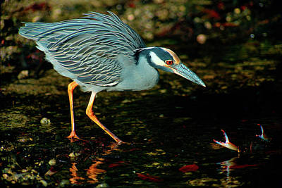 Photograph - Yellow-crowned Night Heron Versus Blue Crab by Ram Vasudev