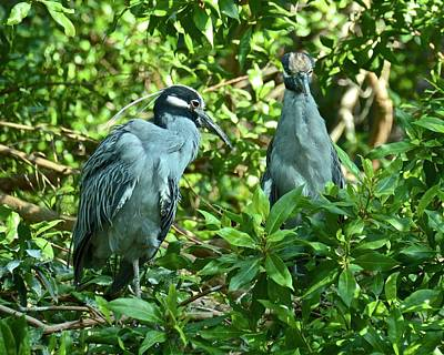 Photograph - Yellow-crowned Night Herons by Carol Bradley
