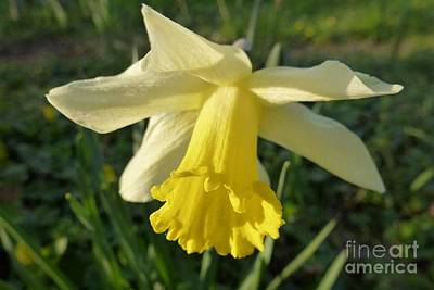 Photograph - Yellow Daffodil 2 by Jean Bernard Roussilhe