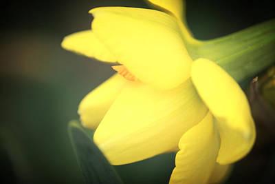 Watercolor Butterflies - Yellow Daffodil by Sherry Cloud