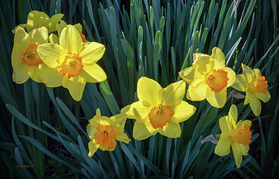 Photograph - Yellow Daffodils Back-lit by Brian Wallace