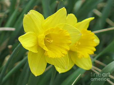 Photograph - Yellow Daffodils by Rod Ismay