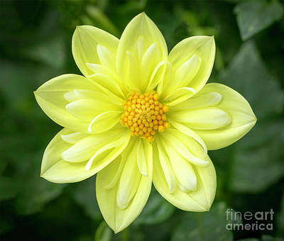 Photograph - Yellow Dahlia by Cathy Donohoue