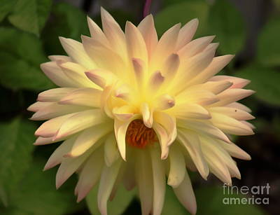 Photograph - Yellow Dahlia by Erica Hanel