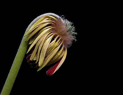 Yellow Dahlia Flower Original by Michalakis Ppalis