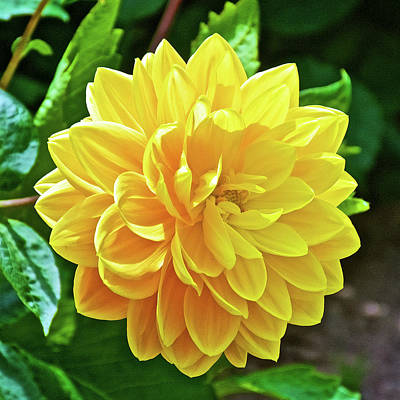 Photograph - Yellow Dahlia In Golden Gate Park In San Francisco, California by Ruth Hager