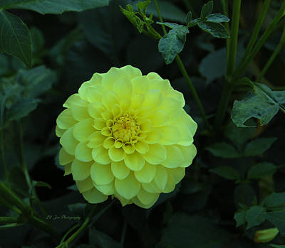 Photograph - Yellow Dahlia by Jeanette C Landstrom