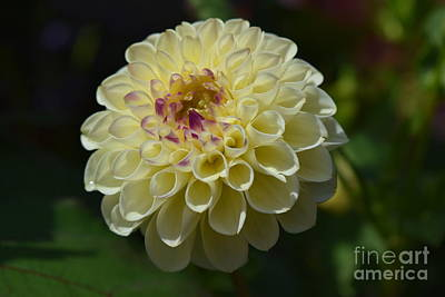 Photograph - Yellow Dahlia by Jeannie Rhode