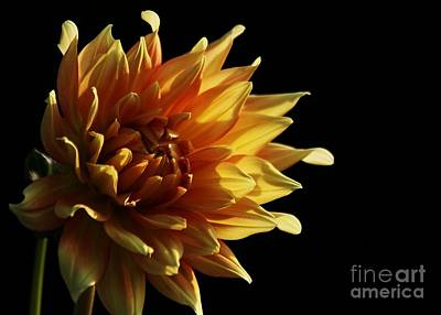 Photograph - Yellow Dahlia by Kenny Glotfelty