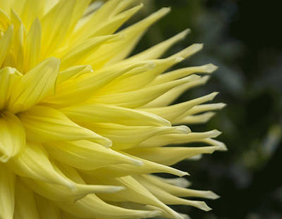 Photograph - Yellow Dahlia Petals by Arlene Carmel