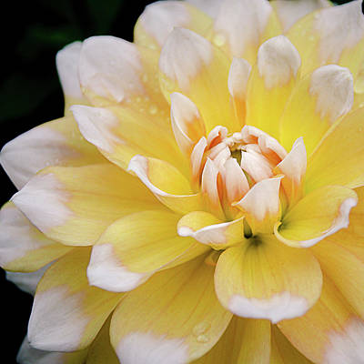 Art Print featuring the photograph Yellow Dahlia White Tipped by Julie Palencia