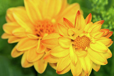 Photograph - Yellow Dahlias by SR Green