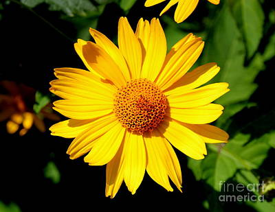 Photograph - Yellow Daisey by Lennie Malvone