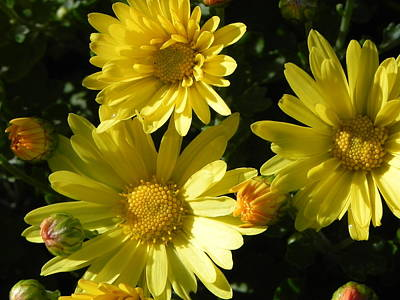 Photograph - Yellow Daisies by John Parry