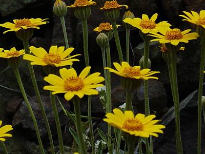 Photograph - Yellow Daisies by Sara Stevenson