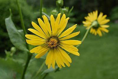 Photograph - Yellow Daisy 1 by Nina Kindred