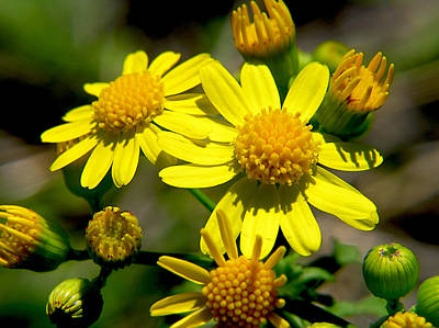 Photograph - Yellow Daisy by Adam Johnson