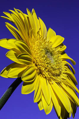 Gerbera Photograph - Yellow Daisy Against The Sky by Garry Gay