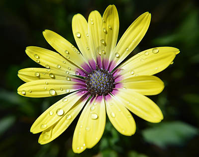 Photograph - Yellow Daisy by Aimee L Maher Photography and Art Visit ALMGallerydotcom