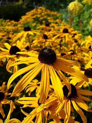 Photograph - Yellow Daisy Bed by Mr Photojimsf