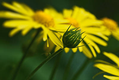 Yellow Daisy Bud Art Print