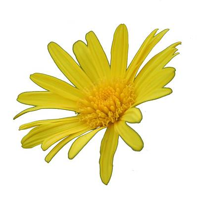 Photograph - Yellow Daisy Flower Isolated by Taiche Acrylic Art