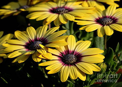 Photograph - Yellow Daisy by Kenny Glotfelty