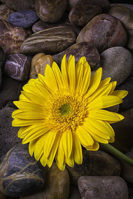 Bed Spring Photograph - Yellow Daisy On River Stones by Garry Gay