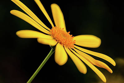 Photograph - Yellow Daisy by Rodger Werner