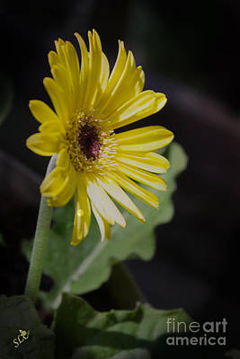 Photograph - Yellow Daisy Sunshine by Sandra Clark