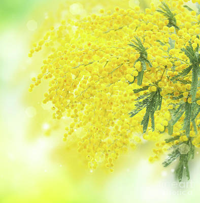 Photograph - Yellow Dance Of Mimosa  by Anastasy Yarmolovich