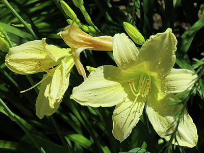 Daylily In Nature Photograph - Yellow Daylilies In Bloom - Beauty In The Garden by Brooks Garten Hauschild