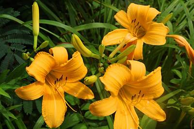 Photograph - Yellow Daylilies by Kathryn Meyer