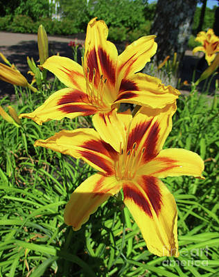 Photograph - Yellow Daylilies by Randall Weidner