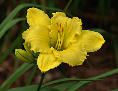 Photograph - Yellow Daylily by Sandy Keeton