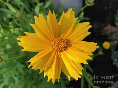 Photograph - Yellow Delight by Ruth H Curtis