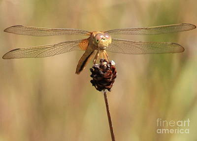 Photograph - Yellow Dragonfly by Carol Groenen