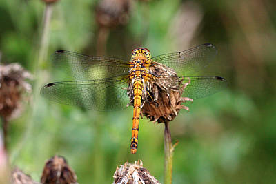 Photograph - yellow Dragonfly by Pierre Leclerc Photography
