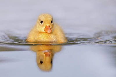 Baby Birds Photograph - Yellow Duckling In Blue Water by Roeselien Raimond