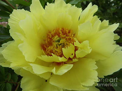 Photograph - Yellow Emperor Hybrid Peony by Lingfai Leung