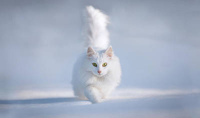 Snow Cat Photograph - Yellow Eyes by Esmee Prexus