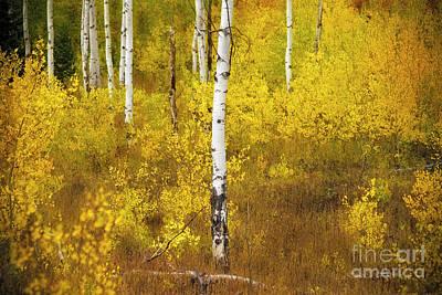 Photograph - Yellow Fall Aspen by Craig J Satterlee