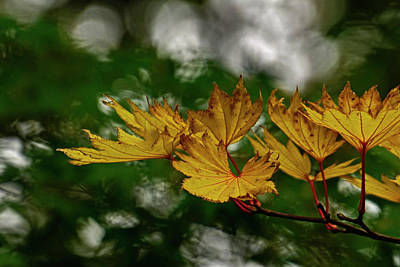 Photograph - Yellow Fall Leaves by Inge Riis McDonald