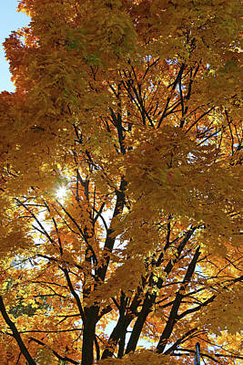Photograph - Yellow Fall Maple And Sun by Mary Bedy
